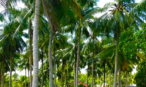 Sở Giao thông TP HCM: 'Trồng dừa trên các tuyến đường không phù hợp'