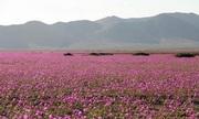 El Nino phủ hoa sa mạc khô cằn nhất thế giới