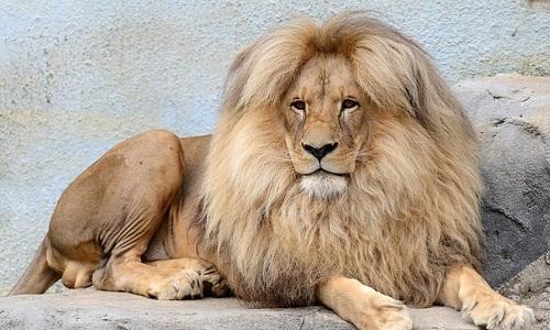 VNE-Leon-Lion-8982-1446351656.jpg