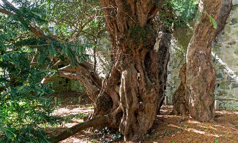 Cây đại thụ già nhất nước Anh chuyển giới tính sau 3.000 năm
