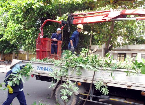 Bình Định chặt 3.000 cây hoa sữa vì mùi hôi 1