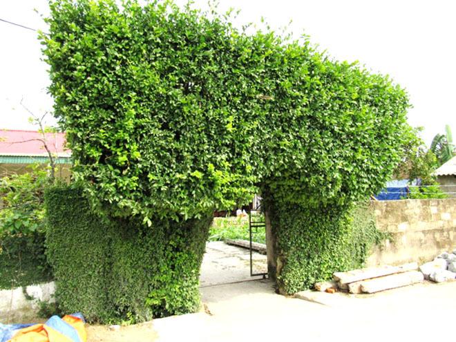 Những cổng nhà tuyệt đẹp từ cây xanh