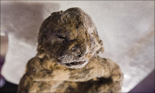 Phát hiện xác đôi sư tử tiền sử 12.000 năm còn nguyên vẹn