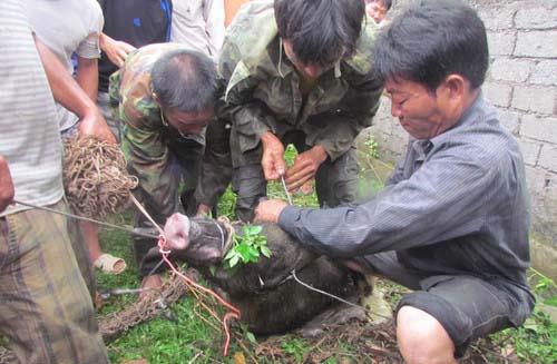 Lợn rừng cắn chết thợ săn 1