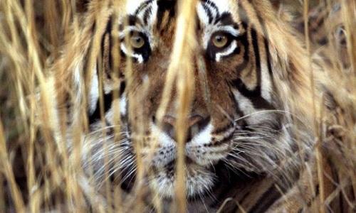 Hổ 'ăn thịt người' ở Ấn Độ bị bắn chết