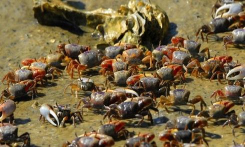 Triệu phú giấu mặt mua 33.000 con cua, thả hết xuống sông