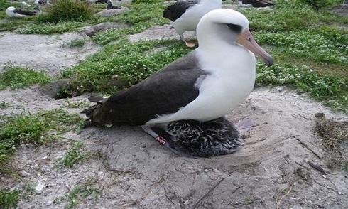 Chim hải âu già nhất thế giới chuẩn bị sinh con thứ 37
