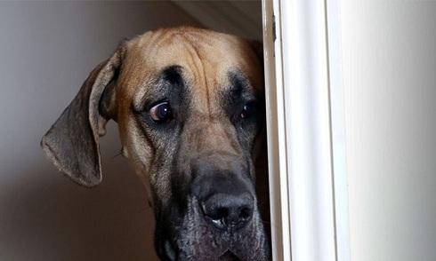 Chó nặng gần tạ gặp gì cũng sợ