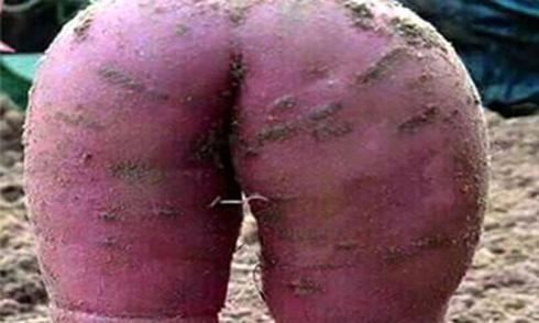 Củ khoai lang gợi cảm khiến nông dân không nỡ ăn