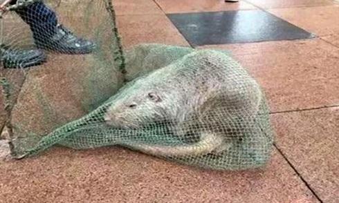 Chuột dài một mét trong sân trường đại học Trung Quốc