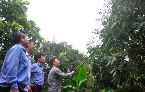 ng Nguyễn Văn Thế (trái) hướng dẫn hội viên thôn An Cảnh, xã Hàm Tử chăm sóc, tỉa tán cho diện tích nhãn xuất khẩu đi Mỹ. Ảnh: Đăng Quang