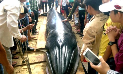 Cá voi 2 tấn dạt vào bờ biển Phú Yên