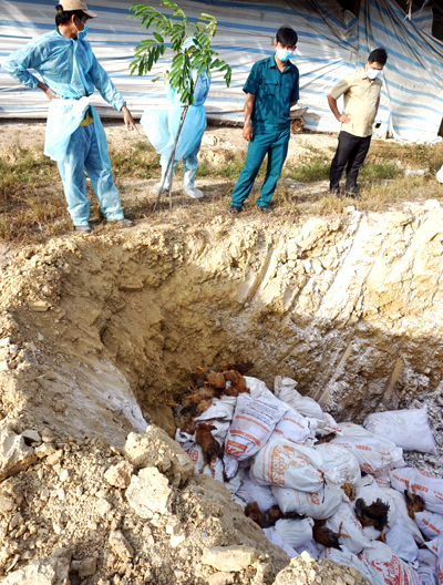 Đàn gà nhiễm bệnh bỏ xuống hố rải vôi chôn lấp. Ảnh: Xuân Thắng