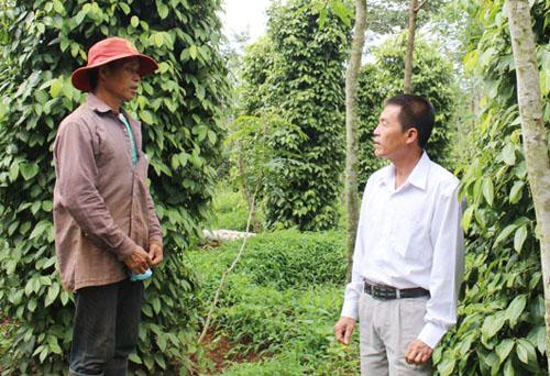 Trang trại ông Đinh Xuân Thu (bên phải) có hơn 20 ha hồ tiêu được trồng dưới tán rừng