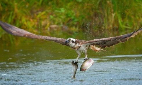 Chim ưng cùng lúc chộp gọn hai con cá hồi cầu vồng