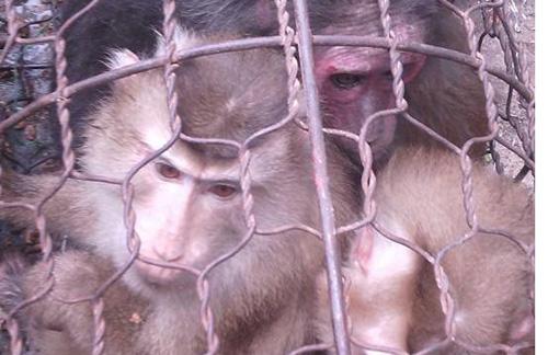 Người khoe giết khỉ trên Facebook bị điều tra 1