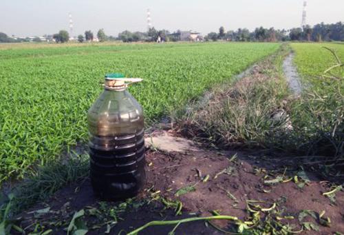 Dùng dầu nhớt tưới rau muống ở làng rau Sài Gòn 1