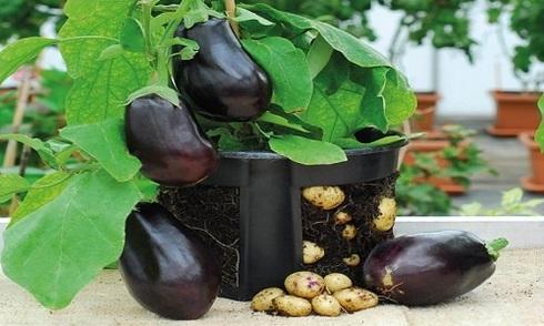 Ngọn cà tím đẻ chi chít củ khoai tây