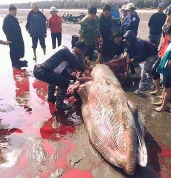 Cá voi dạt bờ biển bị xẻ thịt 1