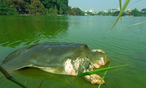 Rùa hồ Gươm trong ký ức người Hà Nội