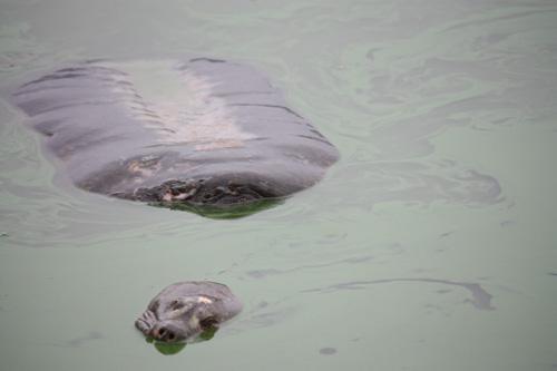 Xác rùa hồ Gươm sẽ được bảo quản lâu dài 1