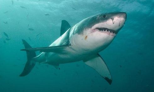 Cá mập trắng 7 m buộc khách đi biển sơ tán khẩn