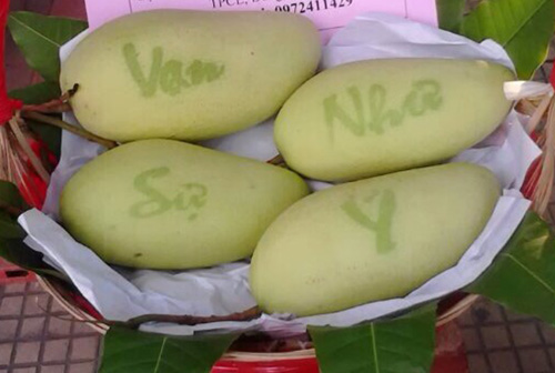 Mỗi trái xoài chữ khi thu hoạch có trọng lượng 0,6-1,3kg được bán với giá 300.000 đồng. Ảnh: Cửu Long