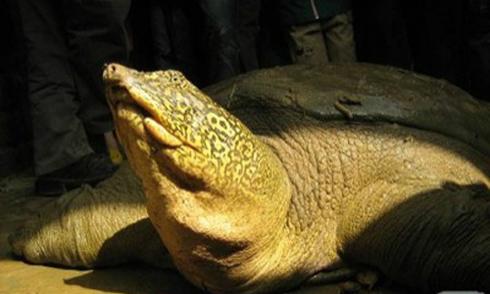 Rùa Hoàn Kiếm trong nhóm tuyệt chủng cao nhất