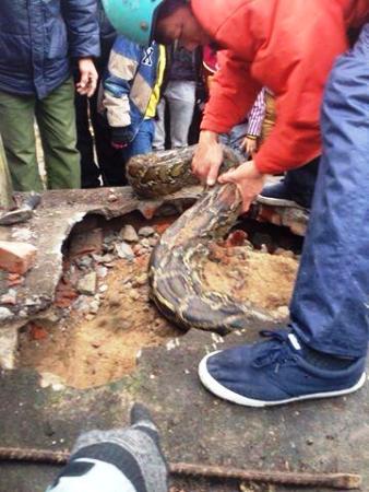 Giải cứu trăn 40 kg mắc kẹt khi chui vào mộ tránh rét 1