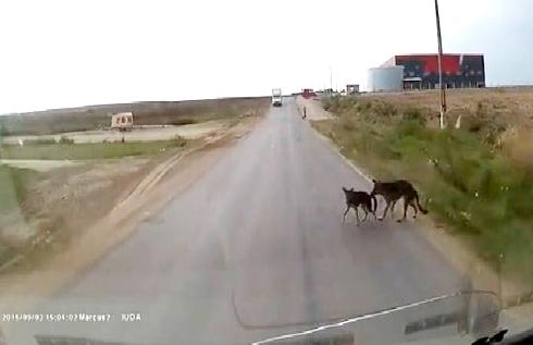 Chú chó cắn đuôi cứu bạn thoát khỏi đâm xe 1