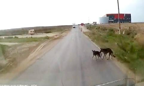 Chú chó cắn đuôi cứu bạn thoát khỏi đâm xe