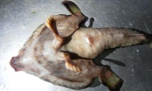 Cá lạ có mũi giống người, bước đi bằng chân dưới đáy biển