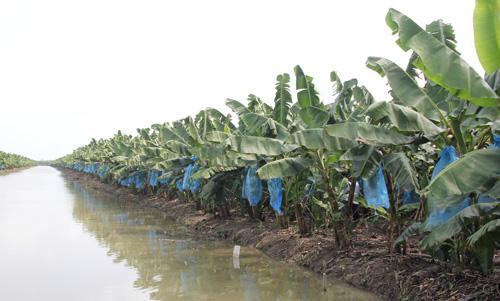 trồng chuối nuôi cấy mô