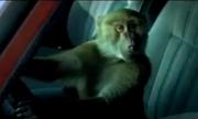 Khỉ giả chết cướp xe hơi
