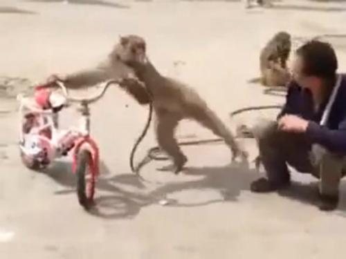 Khỉ giả chết cướp xe hơi 3