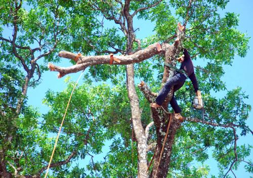 Hà Nội cử người đi nước ngoài học kỹ thuật cắt tỉa cây xanh 1