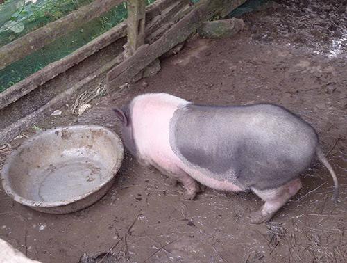 Lợn phát cho hộ nghèo chết hàng loạt 1