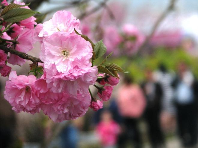 Lần đầu tiên mai vàng Yên Tử khoe sắc cùng hoa anh đào