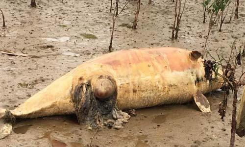 Cá heo nguy cơ tuyệt chủng trôi dạt vào bờ biển 1