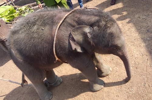 Giải cứu voi 2 tháng tuổi rơi xuống giếng 1