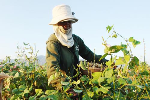 Một phụ nữ  Raglây thu hoạch đậu ván trồng ở lòng hồ Sông Sắt. Ảnh: Tư Huynh