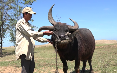 Trâu 3 sừng độc nhất miền Tây. Ảnh: Cửu Long