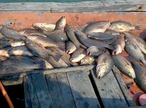 Cá chết trắng bè ở Khu kinh tế Vũng Áng 2