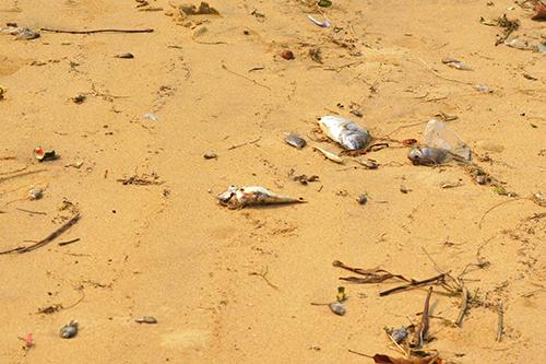 Cá biển chết bất thường ở Quảng Bình 1