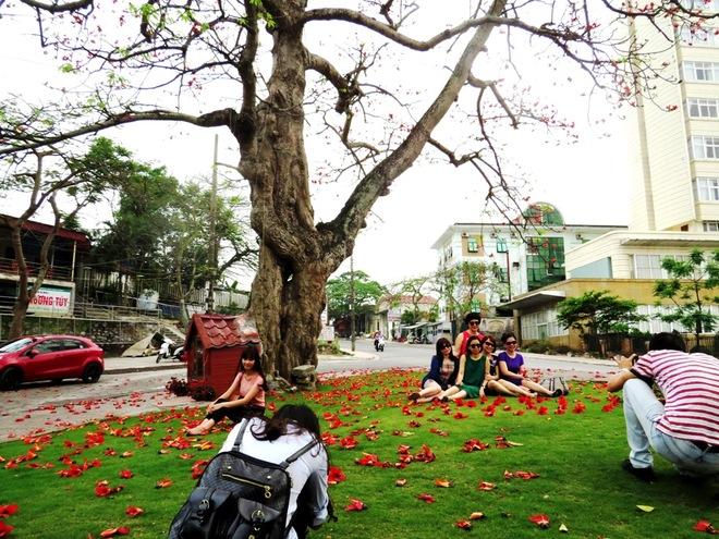 Hoa gạo đỏ Đồ Sơn hớp hồn du khách