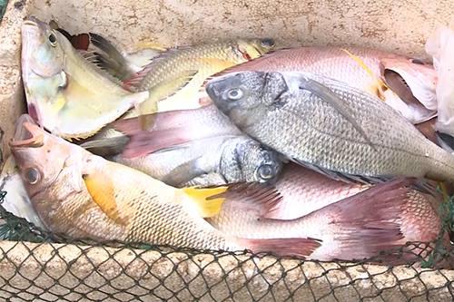 Cá chết hàng loạt do 'yếu tố gây độc trong nước'