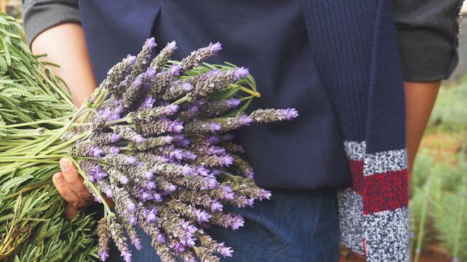 Vườn hoa oải hương ở Đà Lạt miễn phí tham quan