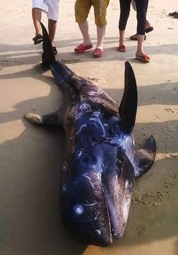 Ngư dân Huế giải cứu cá voi dạt bờ biển 1