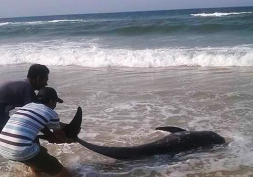Ngư dân Huế giải cứu cá voi dạt bờ biển 2