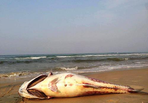 Ảnh cá chết ấn tượng này. Chú thích: Một con cá vẩu nặng chừng 35kg được ngư dân phát hiện chết ở bòe biển xã Vinh Mỹ, huyện Phú Lộc (Thừa Thiên  Huế) vào chiều 24/4. Ảnh do người dân cung cấp